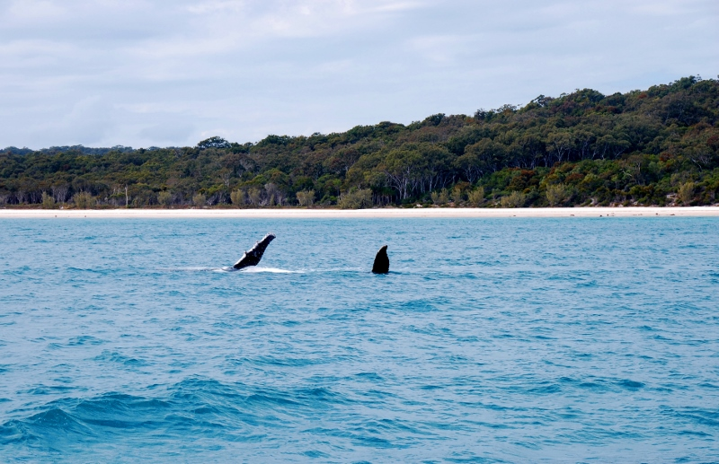 Valaita bongaamassa Hervey Bayssä