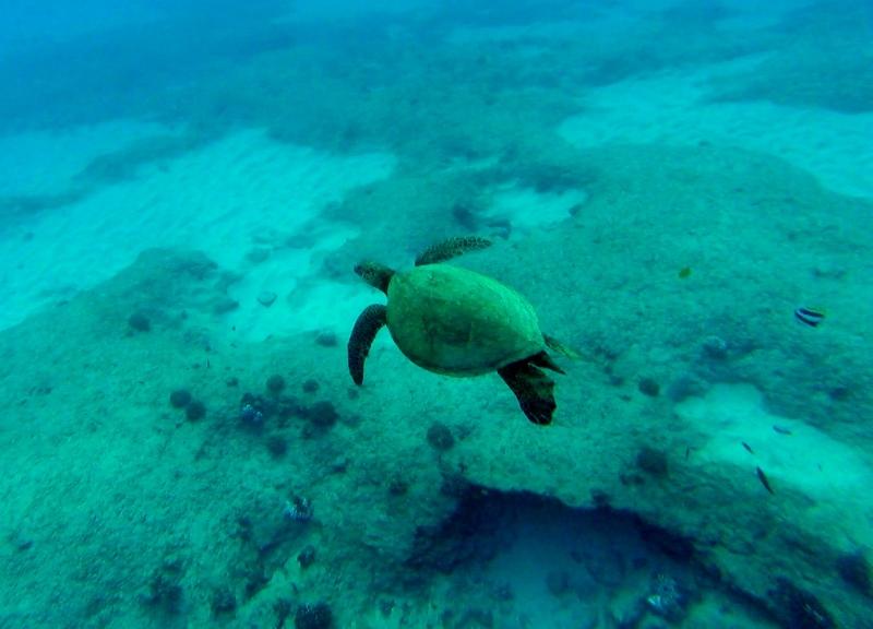Kilpikonna Havaijilla