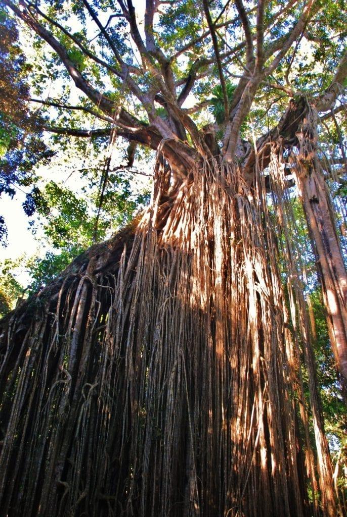 Atherton Tablelandsin sademetsää