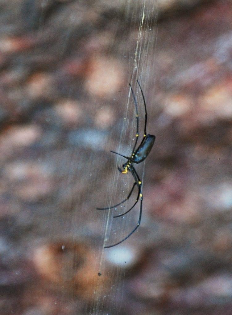hämähäkki Australiassa