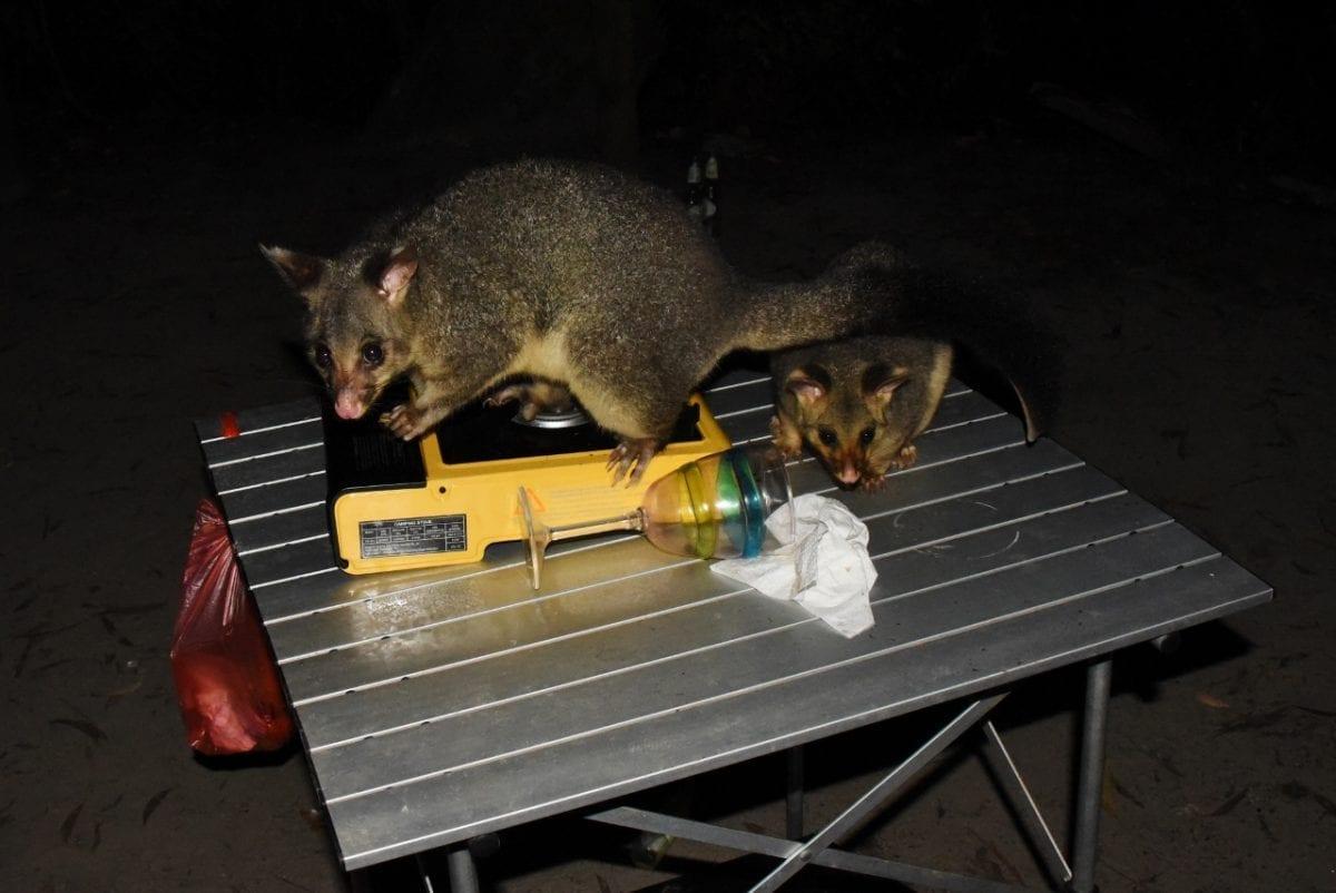 Opossumeja yövarkaissa Australia