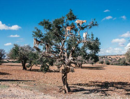 Marokon puissa kiipeilevät vuohet